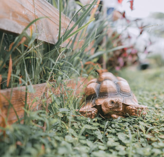 turtle by a fence in green undergrowth